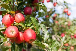 leimringe wann obstgarten pflegen obstbaum hausgarten net