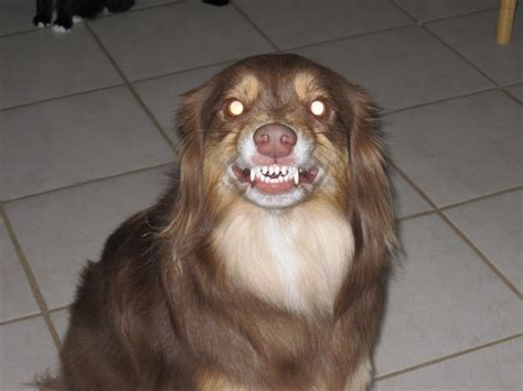 can dogs smile do you think dogs can smile border collie teeth collie home city data forum
