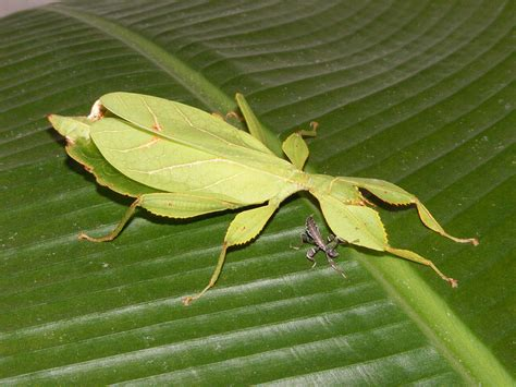 rearing baby leaf insects keeping exotic pets