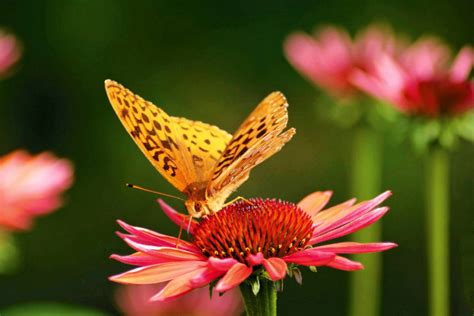 attracting butterflies and hummingbirds to your backyard wshg net gardening to attract hummingbirds and