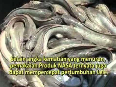 Bibit Lele Magelang tips budidaya ikan lele magelang resep mudah
