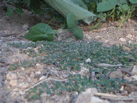 backyard weeds my backyard weeds prostrate spurge
