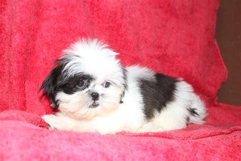 prater puppy kennel home www praterspuppykennel