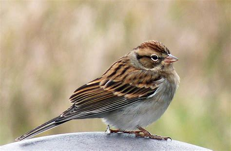 mystery bird chipping sparrow spizella passerina