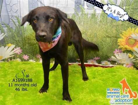 broward adoption 17 best images about dogs for adoption broward county on