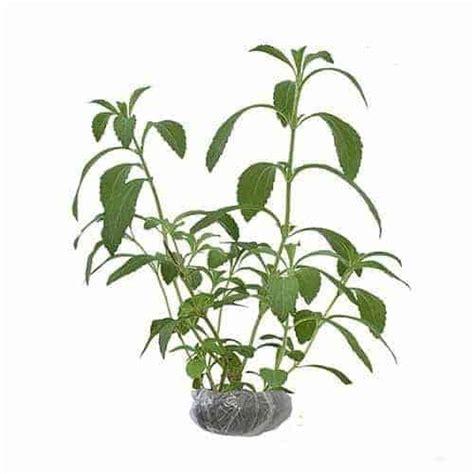 Bibit Stevia jual tanaman stevia bibit