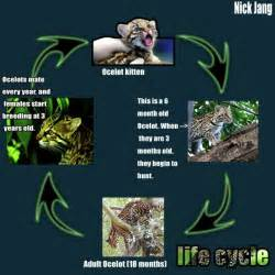 What Is A Jaguars Cycle Cycle Ocelot
