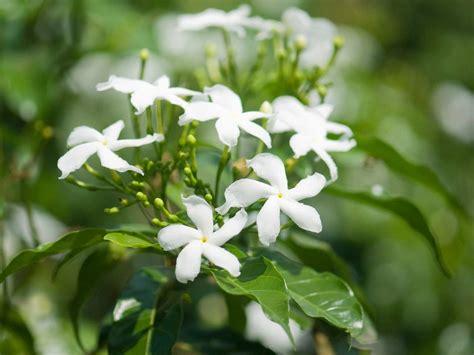 grow jasmine saga