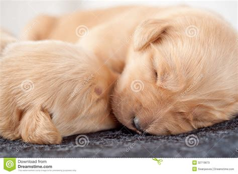 golden retriever puppies sleeping golden retriever puppies sleeping wallpaper