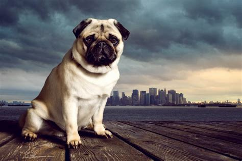 pugs nyc a pug s tale international moving through the of a