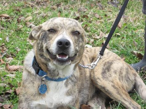 catahoula leopard mix amoretta australian cattle blue heeler humane society of dallas county