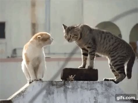 cat vs fight cat fight gif find on giphy