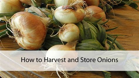 how to harvest and store onions prepares