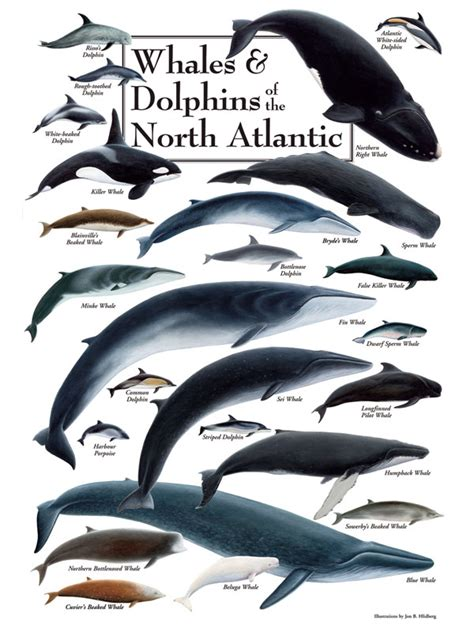 Jersey Marine Manmals 2000 Ms whales dolphins of the atlantic puzzle jigsaw