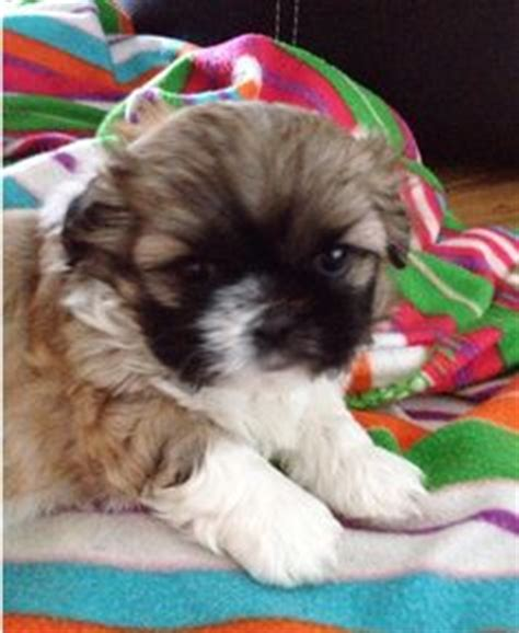 shih tzu for sale in iowa teacup shih tzu puppies for sale in nc shih tzu puppy for sale shih