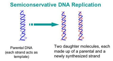 semiconservative replication involves a template what is the template biol 2430 chapt 3 notes