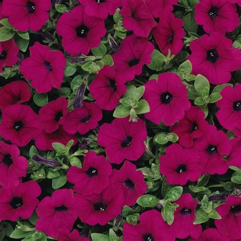 Wave And Flower trailing petunia seeds 49 trailing petunias annual