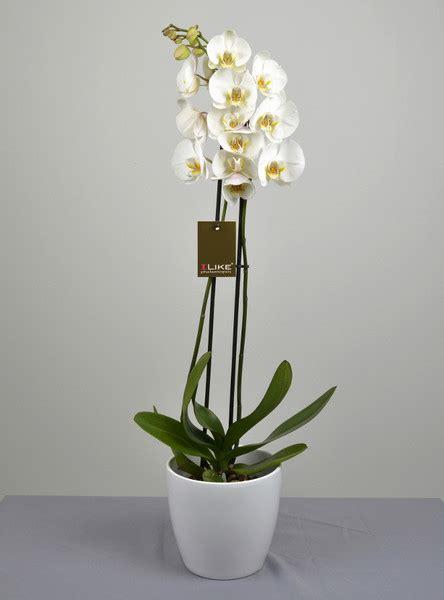 vaso per orchidea phalaenopsis orchidea phalaenopsis consegna a domicilio di