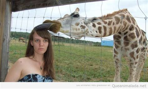 imagenes graciosas jirafas jirafa graciosa archivos