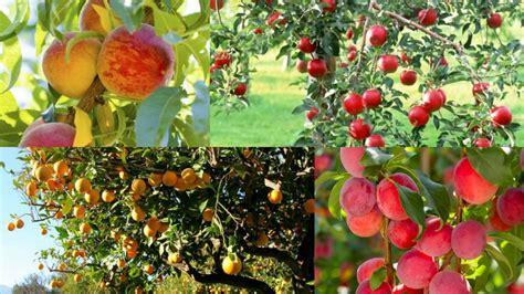 fiori alberi da frutto alberi da frutto e fertilizzazione biologica come quando