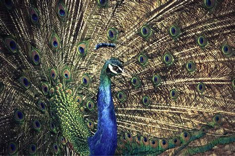 47 Gorgeous Peacock Images animated peacock dancing in the rain www pixshark com
