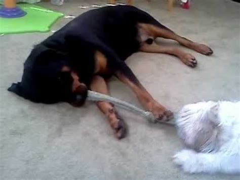 rottweiler mixed with shih tzu rottweiler and shih tzu do tricks together funnydog tv