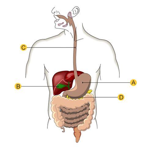 digestive system diagram quiz photos diagram of the g i system human anatomy diagram
