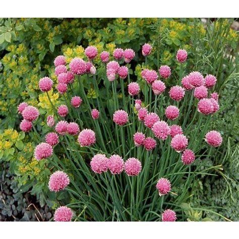 Proven Winners Garlic Chives Live Plant Herb 4 25 In Grande Herchi1017520 The Home Depot » Home Design 2017