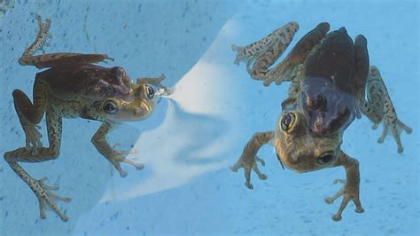 how to find frogs in your backyard frogs mating in my pool how to avoid getting frogs in your