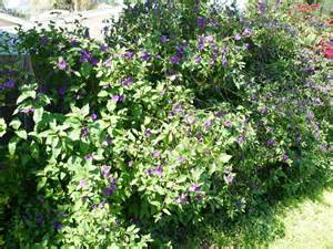 White Backyard Fence Plantfiles Pictures Blue Potato Bush Paraguay Nightshade