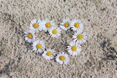 margherita fiori foto gratis margherita fiori bianco immagine gratis