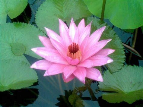 Bibit Bunga Teratai menanam dan budidaya bunga teratai satu jam
