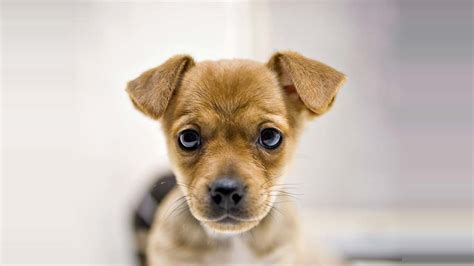 how much do puppy pugs cost how much do puggle breeds cost mccnsulting web fc2
