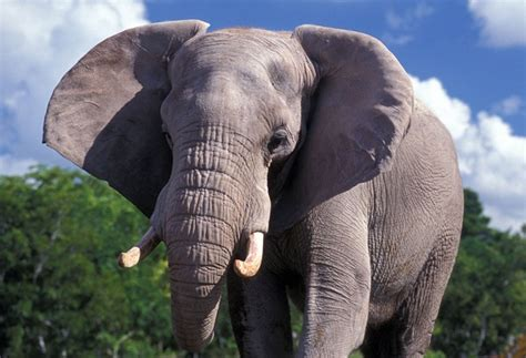 african elephant facts 20 interesting african elephant facts for kids tail and fur