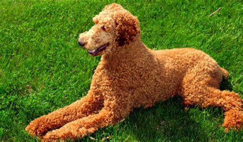 photoes of different types of poddles poodles info and games