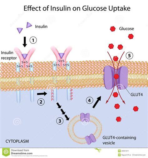 effect insuline op glucosebegrijpen vector illustratie