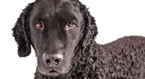 Curly-Coated Retriever Dog Breed Information - American ...