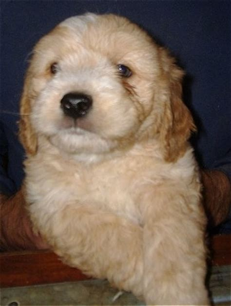 goldendoodle puppy jumping goldendoodle breed information and pictures