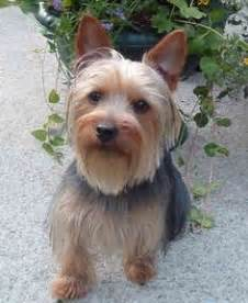 Do Dorkies Shed by 1000 Images About Animals Silkies Dorkie Yorkies On Silky Terrier Yorkies And