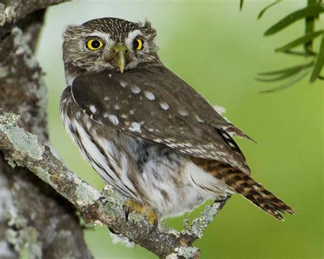 ferruginous pygmy owl audubon field guide