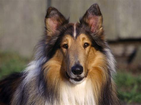what of is lassie wallpaperart