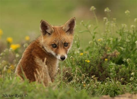 imagenes de paisajes con zorros cachorro de zorro galer 237 as fotonatura org