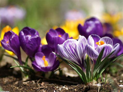 spring flowers pictures purple crocus wallpaper 7437 open walls