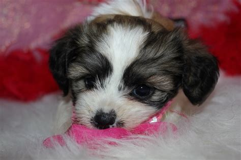 teddy puppies for sale in pa shichon teddy puppy hairstylegalleries