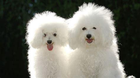 raza perros peque os pelo corto razas de perros peque 241 as el perro de raza poodle o