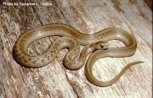 light brown snake sd gfp wildlife and habitat learn more about critters