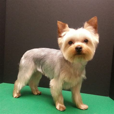 haircuts for yorkshire terriers with silky hair yorkshire terrier haircut pet trim yorkie groom dog
