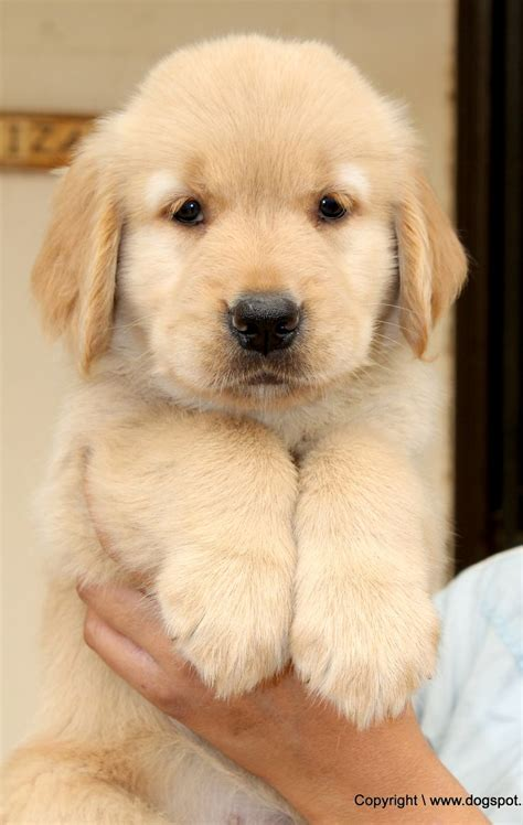adorable golden retriever puppies 1000 images about golden retriever puppies pictures on golden retrievers