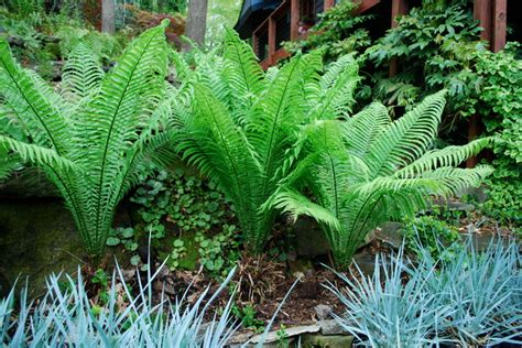Ostrich Fern With Blue Dune Lyme Grass Eclectic Fern Garden Ideas