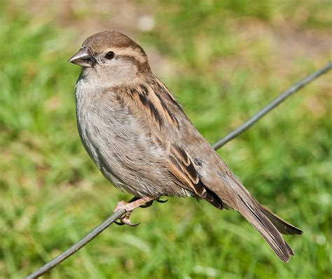 file house sparrow england may 09 jpg wikispecies